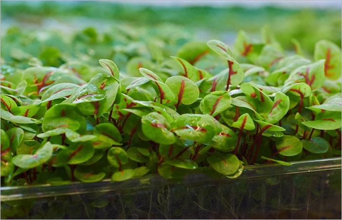 Что такое микрозелень